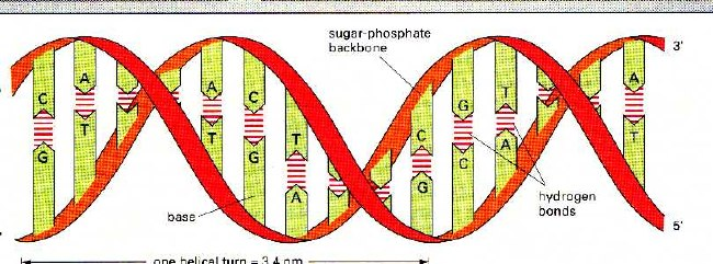 https://www.chem1.com/acad/webtext/states/state-images/DNA_helix.jpg